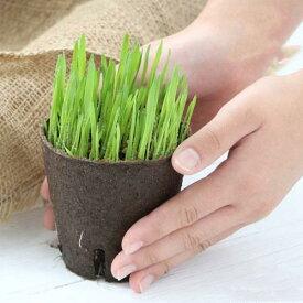 (観葉植物)長さで選べる ペットグラス 直径8cmECOポット植え(短め)(無農薬)(1ポット) 猫草