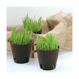 (観葉植物)長さで選べる ペットグラス 直径8cmECOポット植え(短め)(無農薬)(3ポット) 猫草