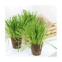 (観葉植物)長さで選べる ペットグラス 直径8cmECOポット植え(長め)(無農薬)(1ポット) 猫草 北海道冬季発送不可