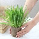 (観葉植物)長さで選べる ペットグラス 直径8cmECOポット植え(長め)(無農薬)(3ポット) 猫草