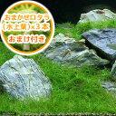 (水草)ヘアーグラス ショート(水上葉)(無農薬)(1束分)(おまかせロタラ3本)