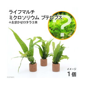 (水草)ライフマルチ(茶) ミクロソリウム プテロプス(1個+おまかせロタラ3本おまけ)
