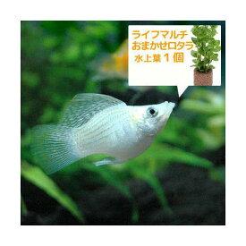 (熱帯魚)(水草)ミックスバルーンモーリー(4匹)+ライフマルチ(茶) おまかせロタラ(1個) 北海道・九州航空便要保温
