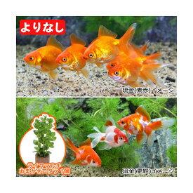 (国産金魚)(水草)よりなし(無選別)琉金(リュウキン)素赤〜更紗(3匹)+ライフマルチ(茶) おまかせロタラ(1個)