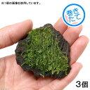 (水草)巻きたて 南米ウィローモス 富士ノ溶岩石 ミニサイズ(約4〜6cm)(無農薬)(3個)
