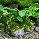 (水草)草たちの水景 風山石 ver.アヌビアスナナ(1個) 北海道航空便要保温
