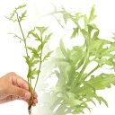 (水草)品種おまかせスプライト(水上葉)(無農薬)(5株)