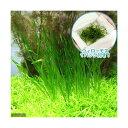 (水草 熱帯魚)ウィローモス&スクリューバリスネリア(1セット)