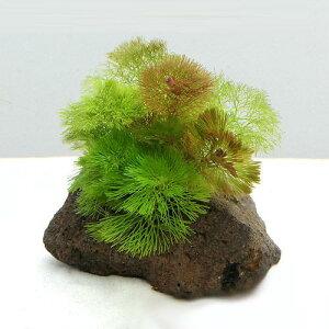 (水草)メダカ・金魚藻 カボンバミックス付き 穴あき溶岩石(1個)