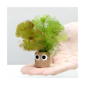 (水草)メダカ・金魚藻 チャー坊 カボンバ ミックス(1個)