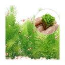 (水草)キューバパール キューブS+マツモ(5本)(無農薬)(1セット)