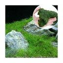 (水草 熱帯魚)ヘアーグラス ショート+巻きたて ウィローモス 流木 SSサイズ