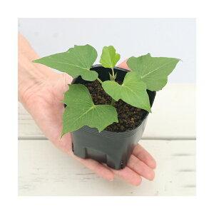 (観葉植物)ペットリーフ サツマイモの苗 3号(無農薬)(1ポット)さつまいもの苗 うさぎ 鳥 リクガメ おやつ