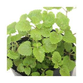 (観葉植物)ハーブ苗 レモンバーム 3号(1ポット) 家庭菜園