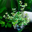 (水草)半水中葉 ロタラ ロトンディフォリア 鉛巻き(無農薬)(3個)
