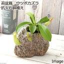 (観葉植物)苔盆栽 ウツボカズラ 抗火石鉢植え(1鉢)