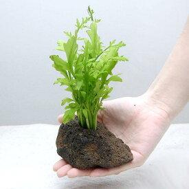 (水草)ウォータースプライト(水上葉) 穴あき溶岩石付(無農薬)(1個)