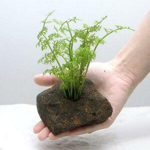 (水草)アメリカン ウォータースプライト(水上葉) 穴あき溶岩石付(無農薬)(1個)