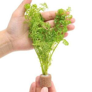 (水草)ライフマルチ(茶) アメリカンウォータースプライト(水上葉)(無農薬)(2個)