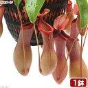(食虫植物)ウツボカズラ ネペンテス アラタ 5号(1鉢)(吊り鉢タイプ)