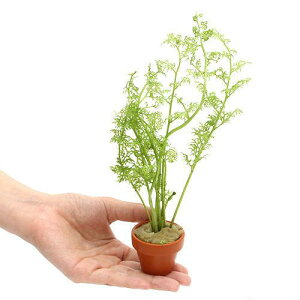 (水草)アメリカン ウォータースプライト ミニ素焼き鉢(水上葉)(無農薬)(3鉢)