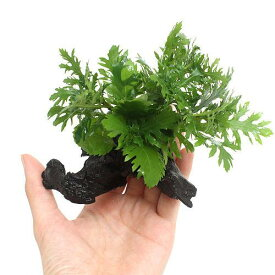 (水草)ウォーターウィステリア 流木付 SSサイズ(水上葉)(無農薬)(3本)(約10cm)