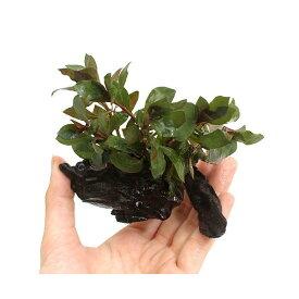 (水草)ルドウィジア レペンス ルビン 流木付 SSサイズ(水上葉)(無農薬)(3本)(約10cm)