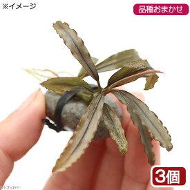 (水草)おまかせブセファランドラ石付(水中葉)(無農薬)(3個)