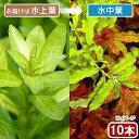 (水草)ルドウィジア インクリナータ グリーン(水上葉)(無農薬)(10本)