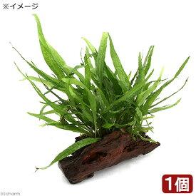 (水草)ミクロソリウム ナロー付き流木 トロピカ製(1本)
