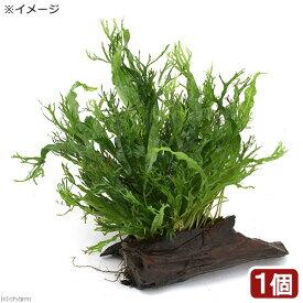 (水草)ミクロソリウム ウェンディロフ付き流木 トロピカ製(1本)