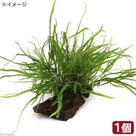 (水草)ミクロソリウム トライデント付き流木 トロピカ製(1本)