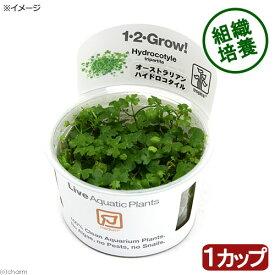(水草)組織培養1−2−GROW! オーストラリアン ノチドメ トロピカ製(無農薬)(1カップ)