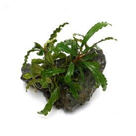 (水草)おまかせブセファランドラ付き風山石 SSサイズ(水上葉)(無農薬)(インボイス)(1個)