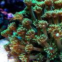 (海水魚 サンゴ)ハナガササンゴ グリーン Mサイズ(1個) 北海道・九州・沖縄航空便要保温