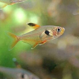 (熱帯魚)レッドファントム・テトラ(ブリード)(6匹) 北海道・九州航空便要保温