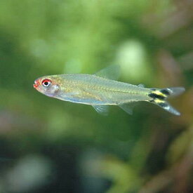 (熱帯魚)イエローテール・ラミーノーズ・テトラ(ワイルド)(4匹) 北海道・九州航空便要保温