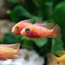 (熱帯魚)ストロベリー・ピーコックシクリッド(1匹)