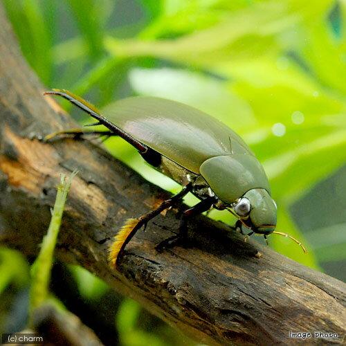 (昆虫)ガムシ(2匹)