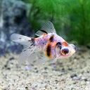 (国産金魚)出目金(デメキン) キャリコ(3匹)