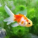 (国産金魚)桜東錦(3匹)