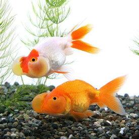 (国産金魚)水泡眼 平賀養魚場産(3匹)