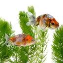 (国産金魚)江戸錦(3匹)
