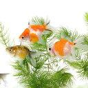 (金魚)パールスケール(5匹) 北海道・九州航空便要保温