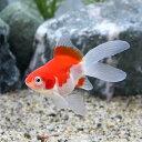 (国産金魚)変わり金魚 玉錦風(1匹)
