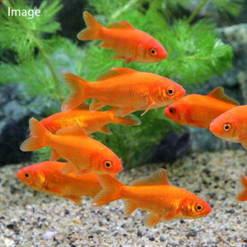 (金魚)生餌 別下 エサ用金魚(10匹) エサ金 餌金