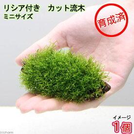 (水草)育成済 リシア付きカット流木 ミニサイズ(8cm以下)(無農薬)(1本)