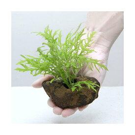 (水草)置くだけ簡単 ウォーターウィステリア 穴あき溶岩石付き(水中葉)(無農薬)(1個)