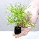 (水草)マルチリングブラック(黒) ウォーターウィステリア(無農薬)(1個)
