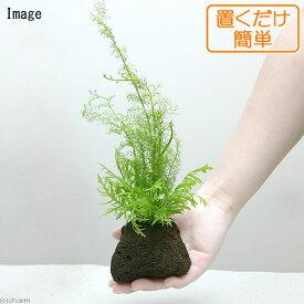 (水草)置くだけ簡単 ウォーターウィステリア & おまかせスプライト1種 穴あき溶岩石付き(無農薬)(1個)